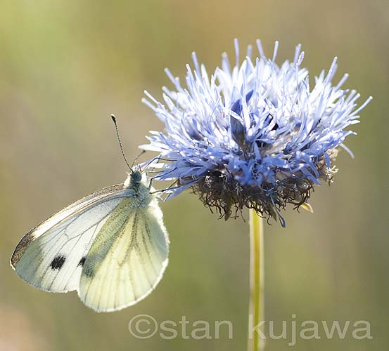 Green-veined white butterfly on Knapweed flower, Krzywica, near Klembow. Poland.  29 June 2012  Photo  ©Stan Kujawa. All Rights Reserved