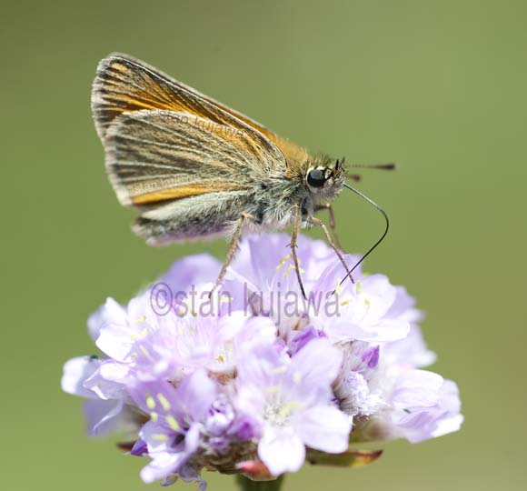 Skipper Butterfly, Krzywica, Poland. 29th June 2012 ©Stan Kujawa. All Rights Reserved  stan.pix@virgin.net  www.stankujawa.co.uk  07815 152006 (UK) ++48 511 962 061