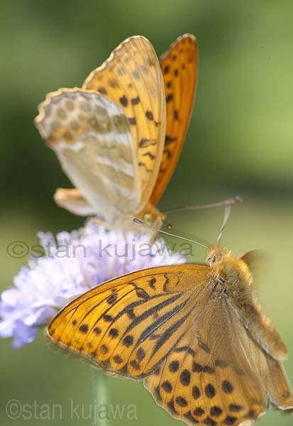 Silver-washed Fritillary, Argynis paphia, Perł'owiec malinowiec,  on Scabiosa flower. A male is flying. Serwy, Poland.  8th July 2012  ©Stan Kujawa.  All Rights Reserved