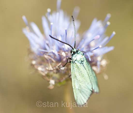 Common Forester moth, Adscita statices.  Serwy, Poland. 16th July 2012 ©Stan Kujawa. All Rights Reserved