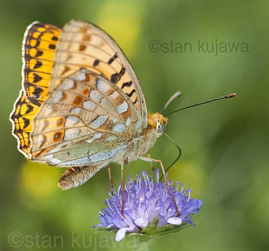 Dark Green Fritillary, Mesoacidalia aglaja. Serwy, Poland. 8th July 2012 ©Stan Kujawa. All Rights Reserved