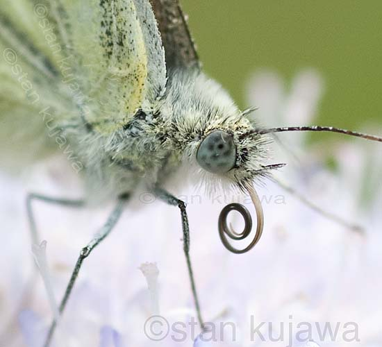 Green-veined white, Pieris napi or Artogeia napi, Krzywica, near Klembow, Poland.  30th June 2012  ©Stan Kujawa.  All Rights Reserved