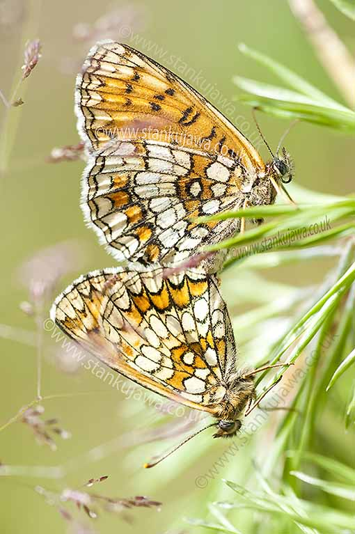 Heath Fritillary Butterflies mating, Melitaea Athalia. Wolomin County, Poland June 2012