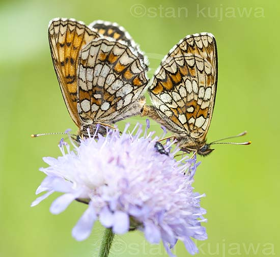 Heath Fritillary butterflies mating, Melitaea athalia. Krzywica, near Klembow, Poland.  30th June 2012  ©Stan Kujawa. All Rights Reserved