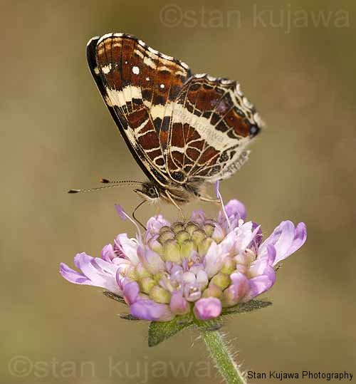 Map Butterfly, Araschnia levana, Rusałka kratkowiec. Krzywica, summer form, on wild Scabiosa flower in a woodland clearing. Mazowiecka, Poland. 5th July 2012 ©Stan Kujawa. All Rights Reserved  stan.pix@virgin.net  www.stankujawa.co.uk  07815 152006 (UK)  ++48 511 962 061