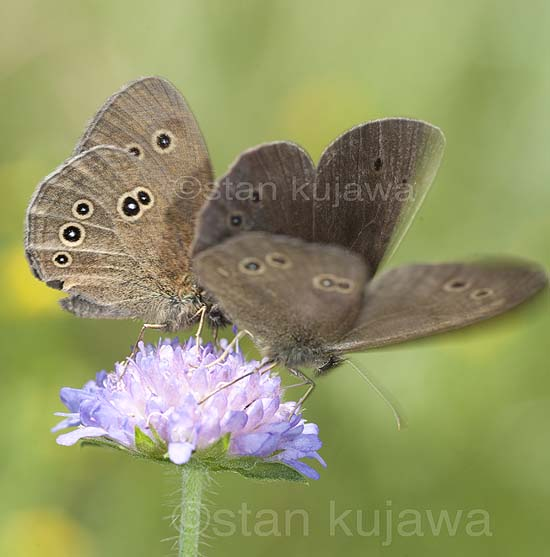 Pair of Ringlet butterflies, Aphantopus hyperanthus, on a Scabiosa flower in a meadow in Serwy, Poland. 8th July 2012 ©Stan Kujawa. All Rights Reserved