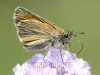 Skipper Butterfly, Krzywica, Poland. 29th June 2012 Stan Kujawa. All Rights Reserved  stan.pix@virgin.net  www.stankujawa.co.uk  07815 152006 (UK) ++48 511 962 061