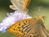 Silver-washed Fritillary, Argynis paphia, Perowiec malinowiec,  on Scabiosa flower. A male is flying. Serwy, Poland.  8th July 2012  Stan Kujawa.  All Rights Reserved