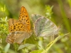 Silver-washed Fritillary, Argynis paphia, Perowiec malinowiec (Pol.),  on Scabiosa flower. A male is flying. Serwy, Poland. 8th July 2012 Stan Kujawa. All Rights Reserved
