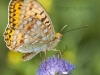 Dark Green Fritillary, Mesoacidalia aglaja. Serwy, Poland. 8th July 2012 Stan Kujawa. All Rights Reserved