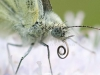 Green-veined white, Pieris napi or Artogeia napi, Krzywica, near Klembow, Poland.  30th June 2012  Stan Kujawa.  All Rights Reserved