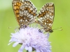 Heath Fritillary butterflies mating, Melitaea athalia. Krzywica, near Klembow, Poland.  30th June 2012  Stan Kujawa. All Rights Reserved