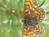 Heath fritillary butterfly, Melitaea athalia, Przeplatka atalia (Pol.) Resting on pine tree. Serwy, Poland. 4th July 2012 Stan Kujawa. All Rights Reserved