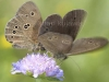 Pair of Ringlet butterflies, Aphantopus hyperanthus, on a Scabiosa flower in a meadow in Serwy, Poland. 8th July 2012 Stan Kujawa. All Rights Reserved