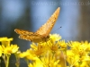 Silver-washed Fritillary, Argynis paphia, Perowiec malinowiec, Serwy, Poland.  8th July 2012  Stan Kujawa.  All Rights Reserved