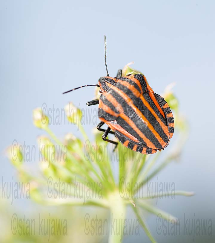 Graphosoma lineatum 01