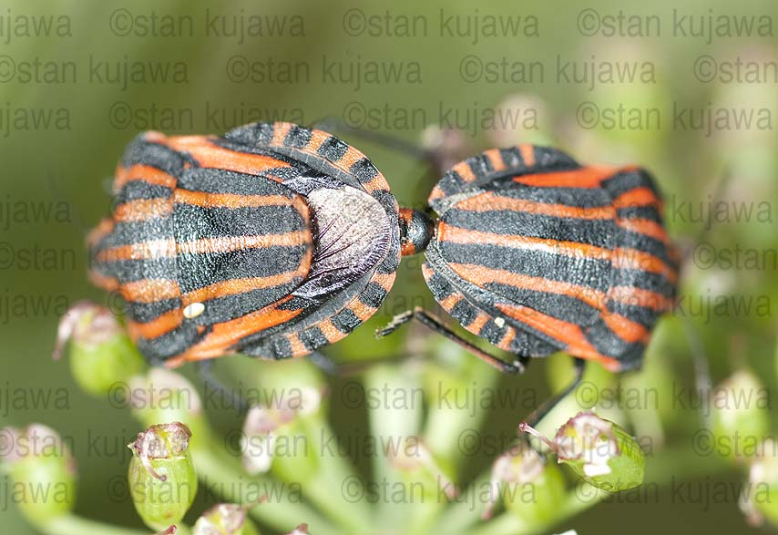 Graphosoma lineatum 02