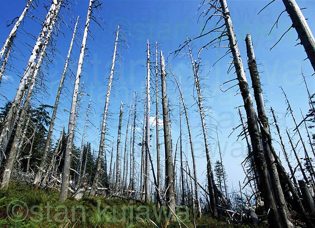 Poland Acid Rain-damaged coniferous trees