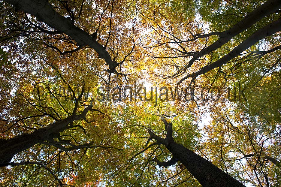Burnham Beeches trees in Autumn, Buckinghamshire. ©Stan Kujawa 2012. All Rights Reserved.