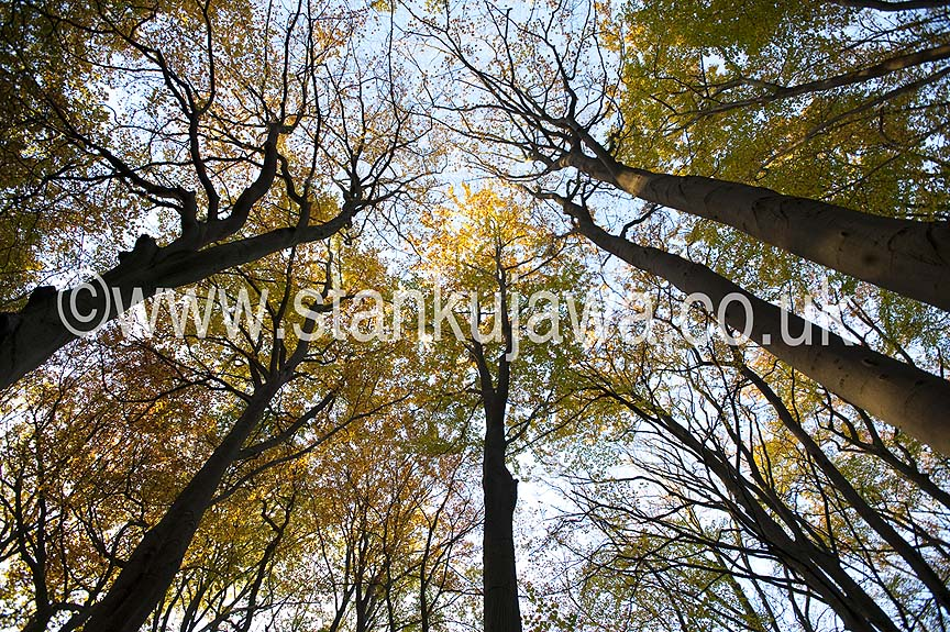 Beech trees in autumn (fall) in the ancient forest of Burnham Beeches National Nature Reserve, Buckinghamshire, England. 2012 ©Stan Kujawa. All Rights Reserved.