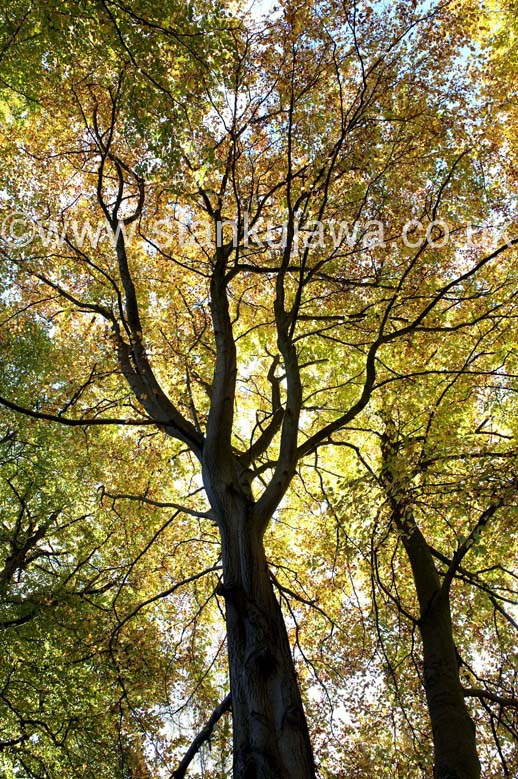 Burnham Beeches National Nature Reserve, Buckinghamshire.  27.10.12. ©Stan Kujawa 2012.  All Rights Reserved.