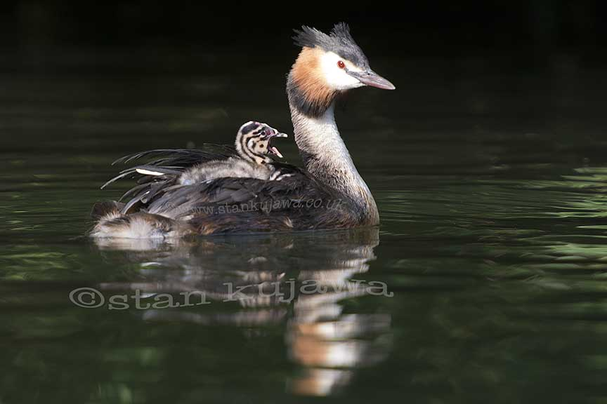 01.07.14. Great Crestd Grebe ©Stan Kujawa. stan.pix@virgin.net 07815 152006
