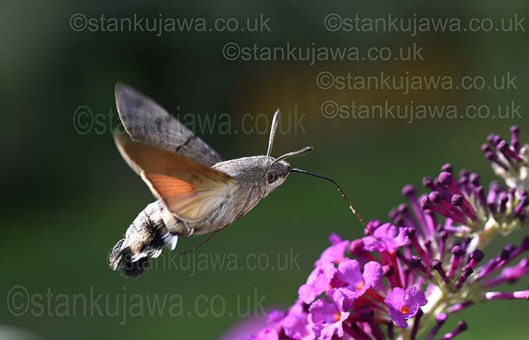 Macroglossum stellatarum. Hummingbird Hawkmoth in Lipinki, nr. Wolomin, Poland. Photo ©Stan Kujawa stan.pix@virgin.net 07815 152006