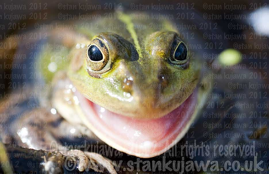 Pool frog, Pelophylax lessonae. ©Stan Kujawa 2012. All Rights Reserved.