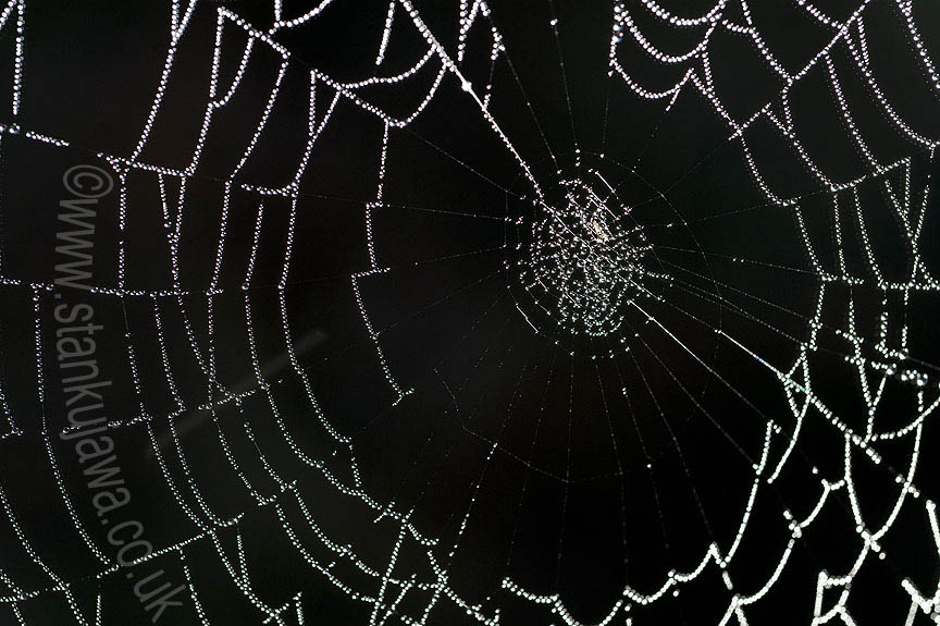 Spider's web covered in morning dew   ©Stan Kujawa  2012. All rights Reserved