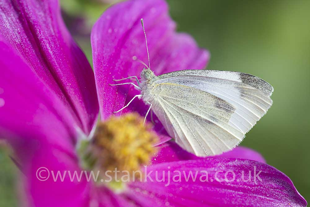 Cabbage White Butterfly on Cosmos flower