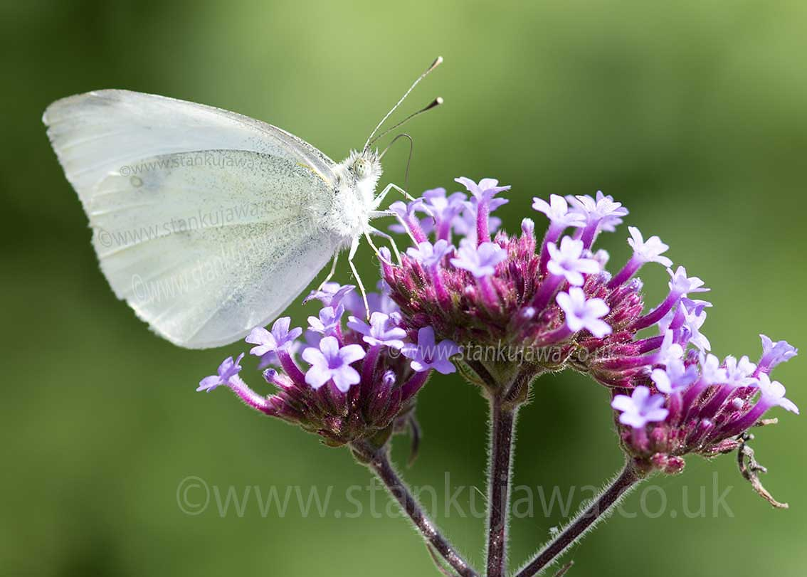 cabbage White adult butterfly, Pieris rapae on Verbena bonariensis 11.08.12 Slough, UK.