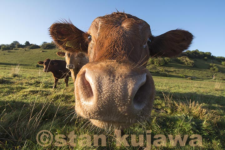 Sunrise_Cookham_Cow_KUJAWA04LR