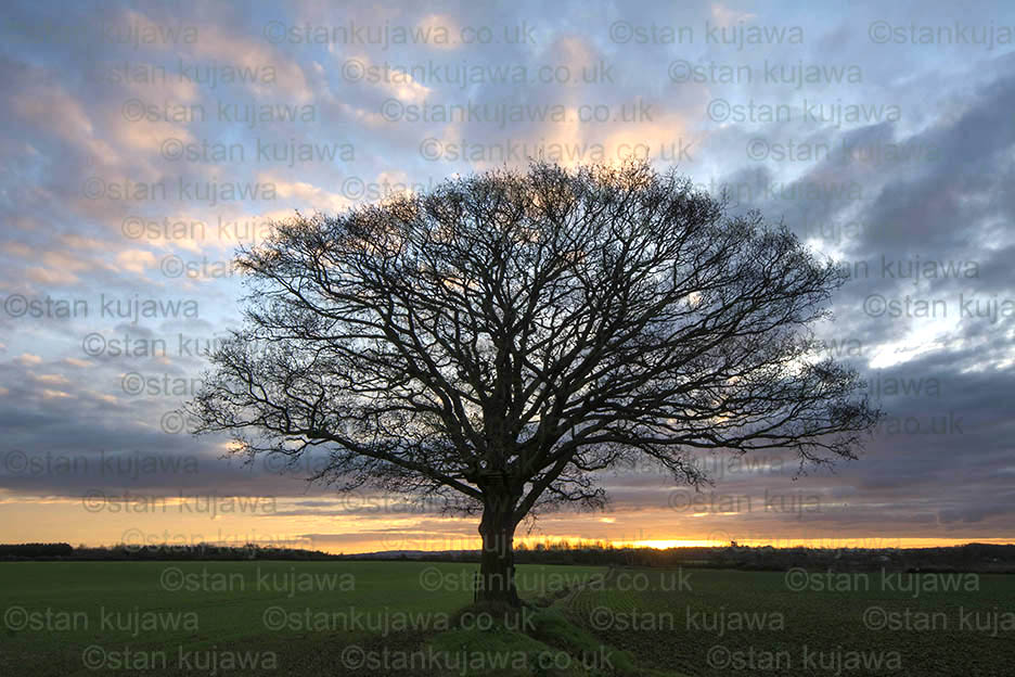 Sunrise over farmland with a solitary oak tree.